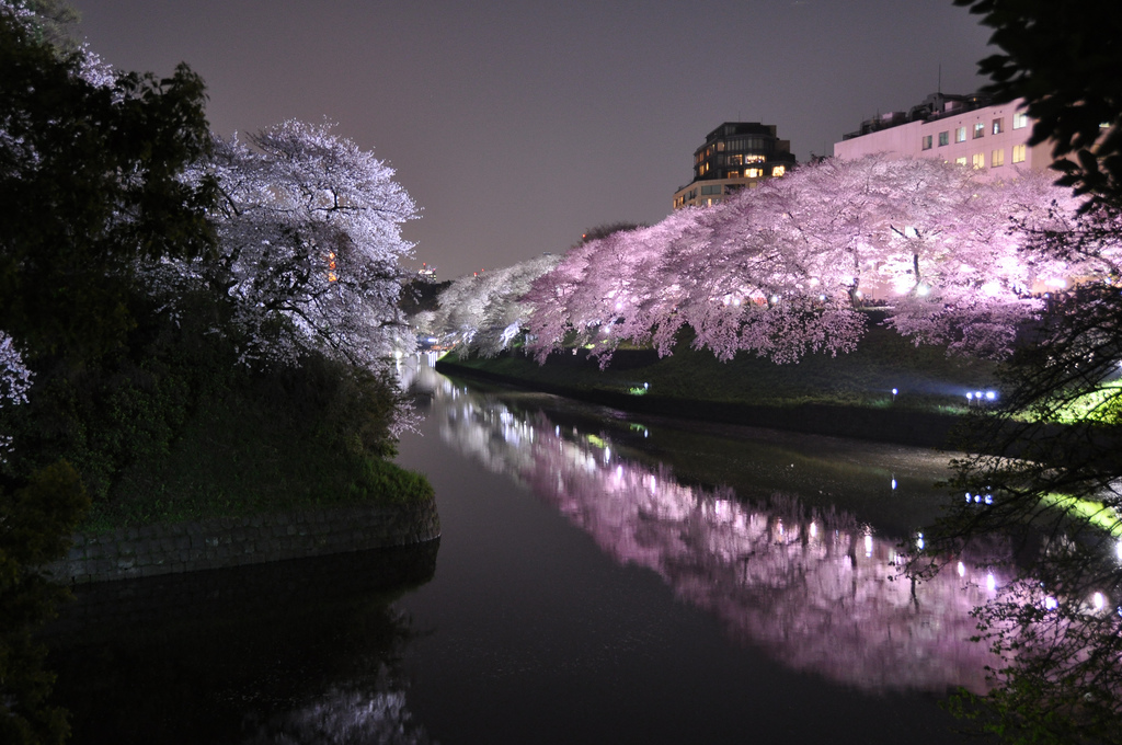 Sakura light-up at Chidoriga-fuchi in Tokyo. Photo by marufish on Flickr.